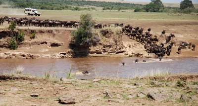 Wildebeeste crossing the Mara River