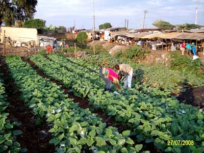 Kibera organic farm - after 3 months