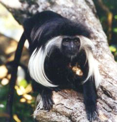 One of Kenyas most beautiful monkeys found only in the forests of teh South Coast