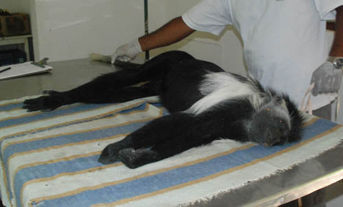 "Colobus road kill..""What's black and white and red all over"" ... ok I agree, it's not funny."