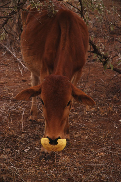 cow gadget
